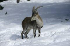 Spanish or Iberian ibex, Capra pyrenaica Royalty Free Stock Photos