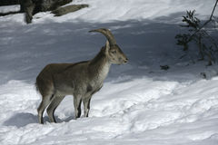 Spanish or Iberian ibex, Capra pyrenaica Stock Photography