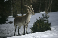 Spanish or Iberian ibex, Capra pyrenaica. Spain, winter Stock Images