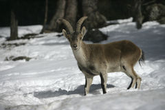 Spanish or Iberian ibex, Capra pyrenaica Stock Image