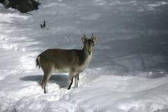 Spanish or Iberian ibex, Capra pyrenaica Royalty Free Stock Image