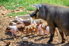 Spanish iberico sow pig with young piglets Royalty Free Stock Photography