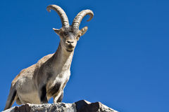 Spanish Ibex Royalty Free Stock Image