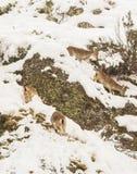 Spanish Ibex Royalty Free Stock Photos