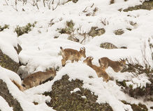 Spanish Ibex. A small group of Spanish Ibex mountain goats (Capra pyrenaica) survives the cold winter high in the Cantabrian Mountains feeding on liken, moss and Royalty Free Stock Images