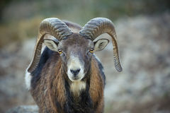 Spanish Ibex Stock Images