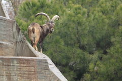 Spanish ibex Stock Photo