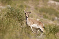 Spanish Ibex Royalty Free Stock Images