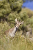 Spanish Ibex Royalty Free Stock Photo