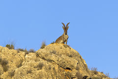 Spanish Ibex Stock Photos