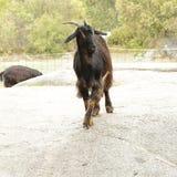 Spanish ibex Stock Photography