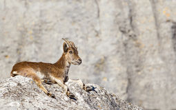 Spanish Ibex laid on a rock. A Spanish Ibex (Capra pyrenaica) laid down on a rock, facing right, against a blurred natural background, Andalucia, Spain royalty free stock photography