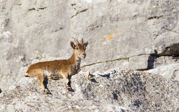 Spanish Ibex resting on rocks Stock Photo
