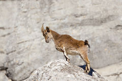 Spanish Ibex stood upright on rocks. A Spanish Ibex (Capra pyrenaica) stood upright on a rock, against a blurred natural background, Andalucia, Spain Stock Photos