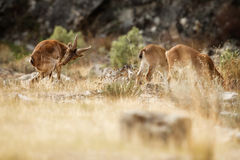 Spanish ibex young male and female with young in the nature habitat Stock Photo