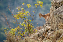 Spanish ibex young male in the nature habitat Royalty Free Stock Photography