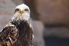 Spanish Imperial Eagle Royalty Free Stock Photo