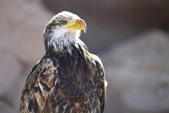 Spanish Imperial Eagle Royalty Free Stock Photos