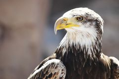 Spanish Imperial Eagle Stock Image