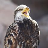Spanish Imperial Eagle Stock Images