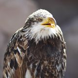 Spanish Imperial Eagle Royalty Free Stock Images