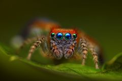 Spanish jumping spider Saitis barbipes Stock Image