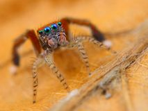 Spanish jumping spider   Royalty Free Stock Images
