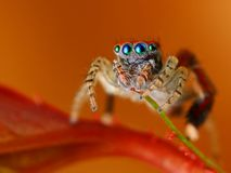 Spanish jumping spider  Stock Photography