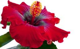 Spanish lady hibicus flower Stock Images