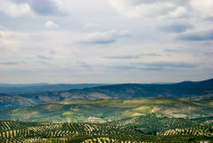 Spanish landscape with Olive trees. Stock Image