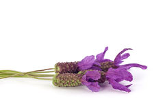 Spanish lavender Royalty Free Stock Photography