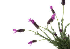 Spanish Lavender Stock Photography