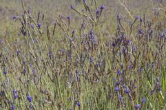 Spanish lavender field Stock Photography