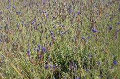 Spanish lavender field Royalty Free Stock Images