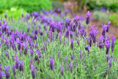 Spanish lavender flowers blooming in Hamilton Gardens Stock Images