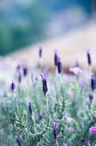Spanish Lavender on garden Royalty Free Stock Photography