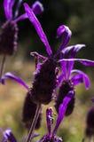 Spanish lavender, Lavandula stoechas Royalty Free Stock Photo