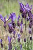 Spanish lavender, Lavandula stoechas Stock Image