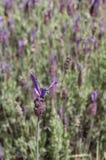 Spanish lavender, Lavandula stoechas Stock Photography