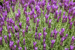 Spanish lavender Royalty Free Stock Photos