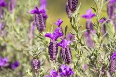 Spanish Lavender, Lavendula Stoechas Stock Photo