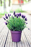 Spanish lavender plant Royalty Free Stock Photo