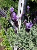 Spanish lavender Stock Photos
