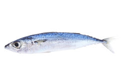 Spanish mackerel Stock Photos