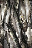 Spanish Mackerel stock image