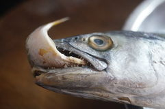 Spanish mackerel with a fish in his mouth. Royalty Free Stock Photo
