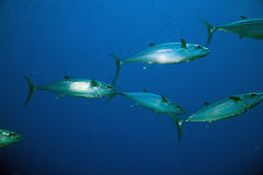 Spanish mackerel (scomberomorus commerson) Royalty Free Stock Photography