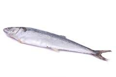 Spanish Mackerel Stock Image
