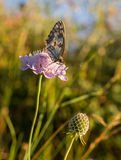 Spanish Marbled White on purple flower Stock Images