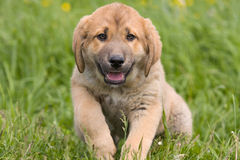 Spanish Mastiff Royalty Free Stock Images
